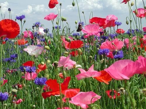 fiore-di-campo_O1